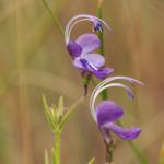 matabele-violet